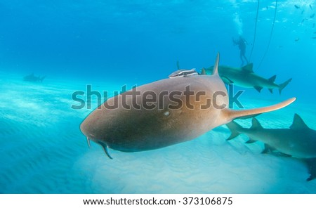 Nurse shark - stock photo