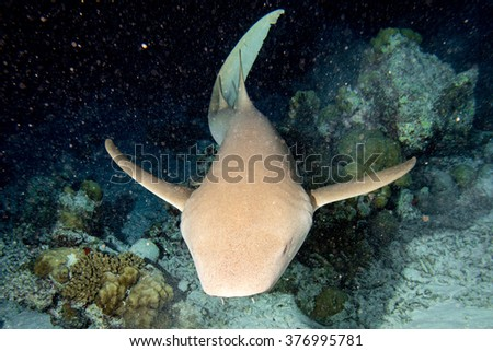 Nurse Shark close up on black background while diving in Maldives - stock photo