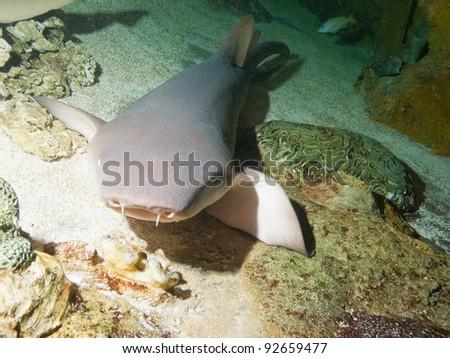 Nurse shark (Ginglymostoma cirratum) - stock photo