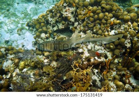 Nurse shark, Ginglymostoma cirratum on a coral reef, Caribbean sea, Belize - stock photo