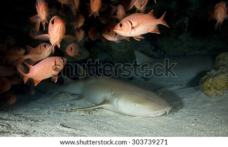 NURSE SHARK IN A UNDERWATER CAVE ON A REEF OF FRENCH POLYNESIA - stock photo