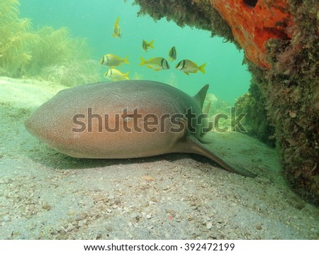 Nurse Shark Key West Florida - stock photo