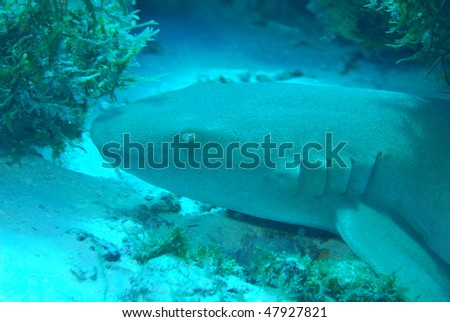 Nurse Shark Resting on the ocean floor on Palancar Reef in Cozumel, Mexico