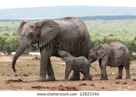 Nursing African elephant with it's young offspring