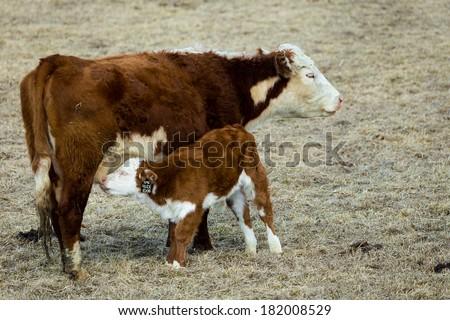 Nursing Calf - stock photo