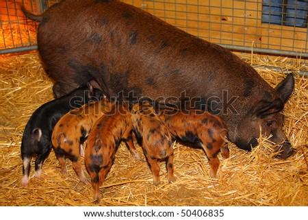 Nursing Piglets - stock photo