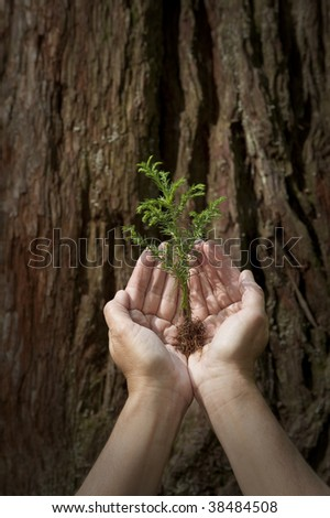 Nurture baby tree seedling against giant redwood background concept - stock photo