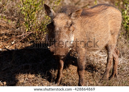 Nut Baby - Phacochoerus africanus - The common warthog is a wild member of the pig family found in grassland, savanna, and woodland in sub-Saharan Africa. - stock photo