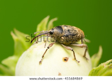 Nut weevil, Curculio nucum on hazelnut