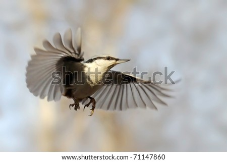 Nuthatch as skydiver/Shortly suspended swift flight of nuthatch - stock photo