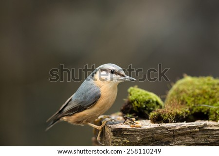 nuthatch on moss covered log