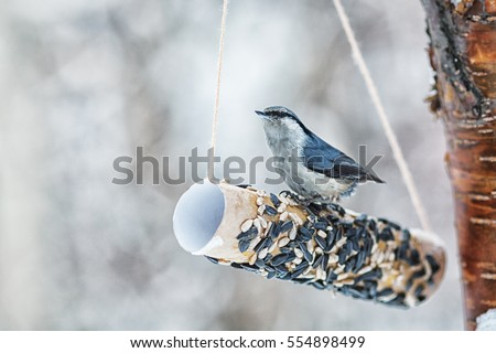 nuthatch peck seeds in winter park, feeding trough.