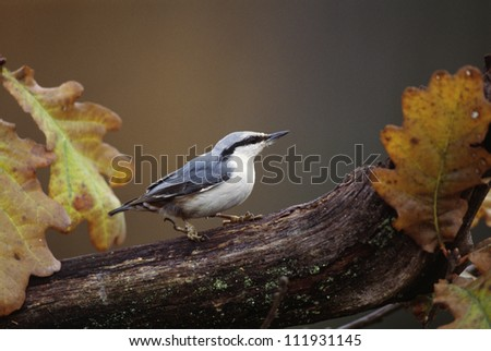 Nuthatch perching on autumn tree