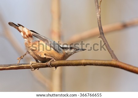 Nuthatch (Sitta europaea) on a twig. - stock photo