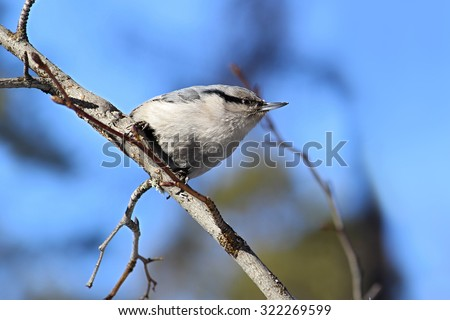 nuthatch sitting on a branch on a background of bright blue sky