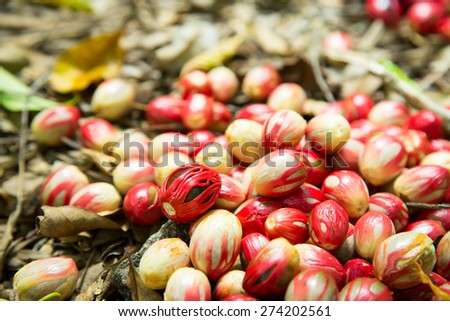 Nutmeg  - stock photo