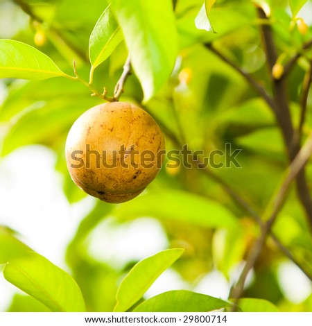 Nutmeg fruit in tree