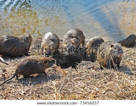 Nutria family in the wild - stock photo
