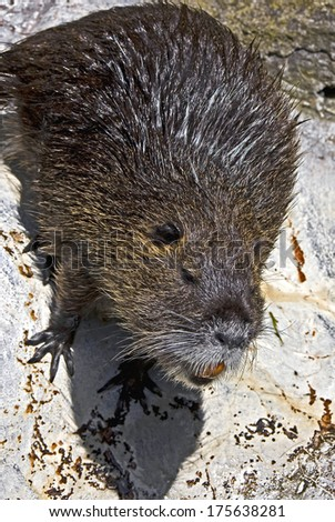 Nutria. Latin name - Myocastor coypus