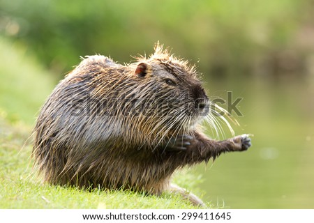 Nutria on green grass