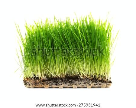 Nutritious Tray Of Homegrown Wheatgrass - stock photo