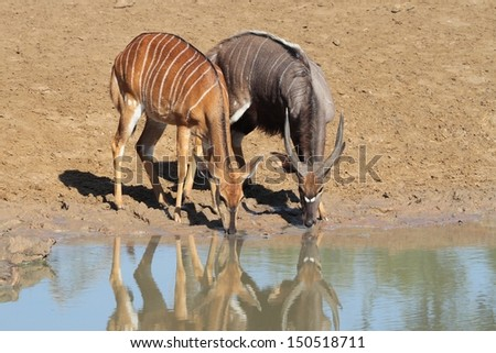 Nyala at waterhole
