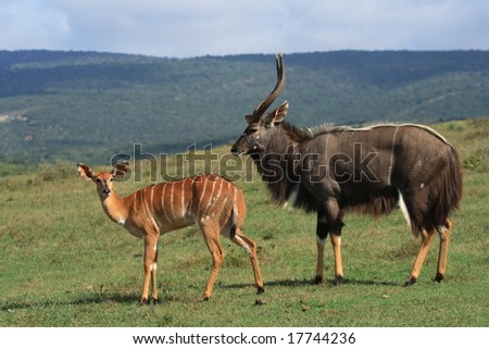 Nyala bull is much bigger than the ewe. - stock photo