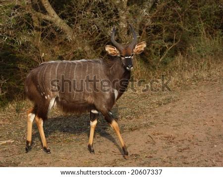 Nyala bull walking past a thorn bush. - stock photo