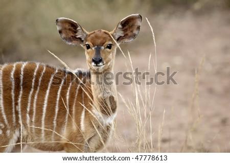 Nyala female - stock photo