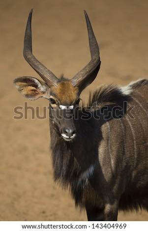 Nyala male, uMkhuze, South Africa - stock photo