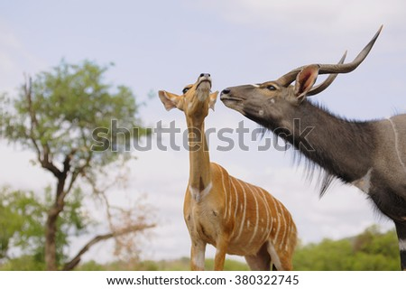 Nyala (tragalaphus angasi) Male courting a female in estrus. - stock photo