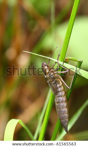 Nymph of the dragonfly - stock photo