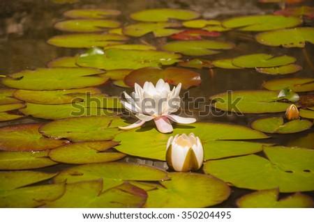 Nymphaea Alba L. (European White Waterlily, White Lotus, Nenuphar)  - stock photo
