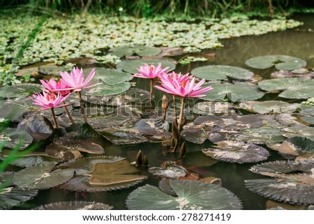 Nymphaea/As a living flowers in the water, they bloom in September and had a very nice color. - stock photo