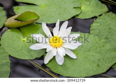 Nymphaea odorata, Waterlily House, Royal KEW Gardens, London - stock photo