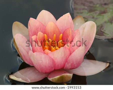 Nymphaea (orange water lily) two, close-up - stock photo