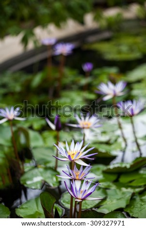 Nymphaea Rhonda Kay, Waterlily House, Royal KEW Gardens, London - stock photo