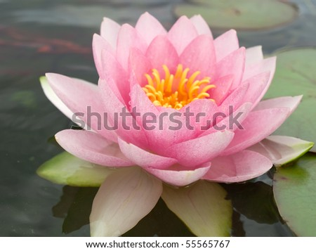 Nymphaea Water lilly  in a pond - stock photo