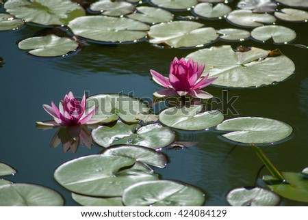 Nymphaeaceae or pink color fresh lotus blossom or water lily flower blooming on pond background