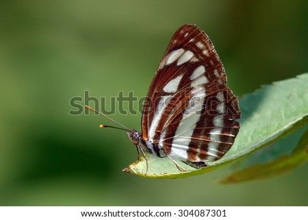 Nymphalidae Neptis sappho in natural habitat - stock photo