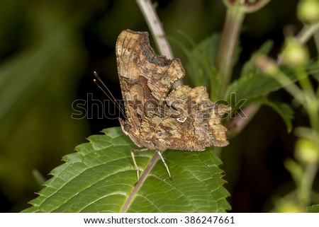 Nymphalis c-album, Polygonia c-album, Comma butterfly from Germany, Europe - stock photo