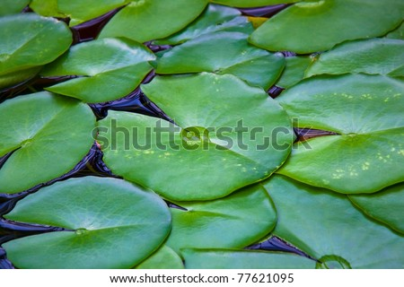 Nymphea leaves on the surface of the water - stock photo