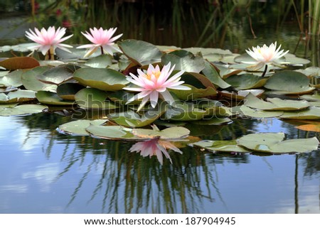 Nymphea on a pond - stock photo