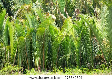 Nypa fruticans, commonly known as the nipa palm, is a species of palm native. Developed in Vietnam - stock photo