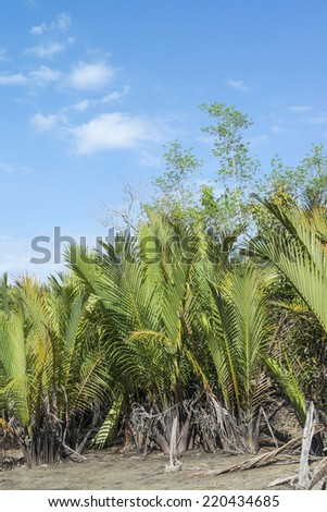 Nypa fruticans, commonly known as the nipa palm, is a species of palm native to the coastlines and estuarine habitats of the Indian and Pacific Oceans.  - stock photo