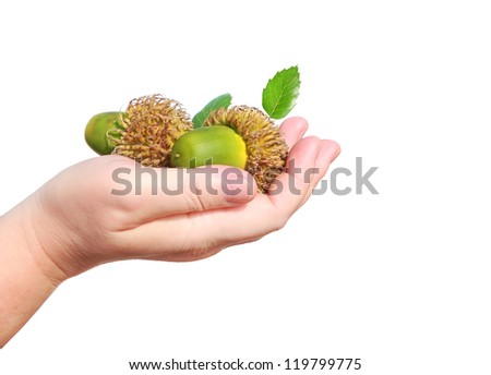 Oak acorns in a women hand isolated on a white background - stock photo