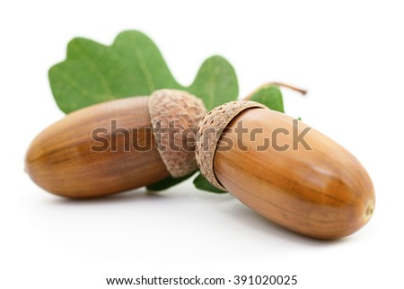 Oak acorns with leaf isolated on white background.