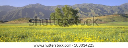 Oak and mustard in green field and Chief Peak, in Upper Ojai Valley, California - stock photo