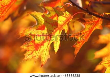 Oak autumn leaves - stock photo