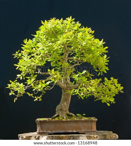 oak bonsai in spring